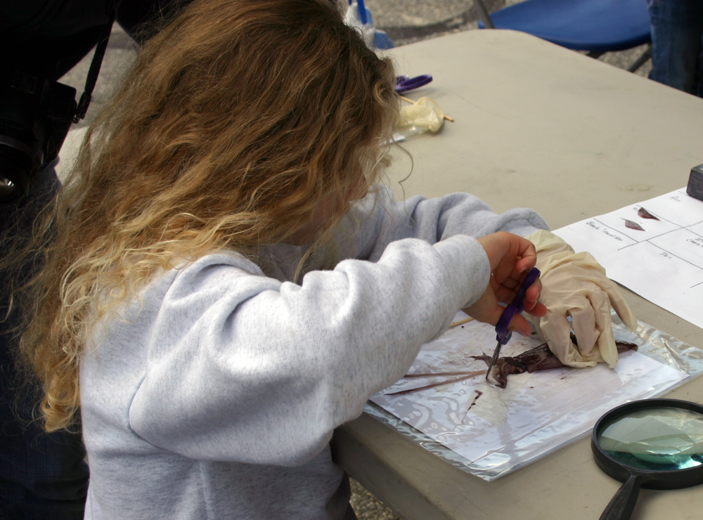 A Know the Coast Day visitor dissects a squid under the direction of a Marine Docent.