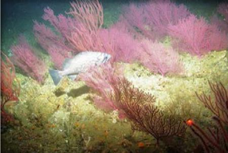 Underwater photo of a fish among pink fan corals.